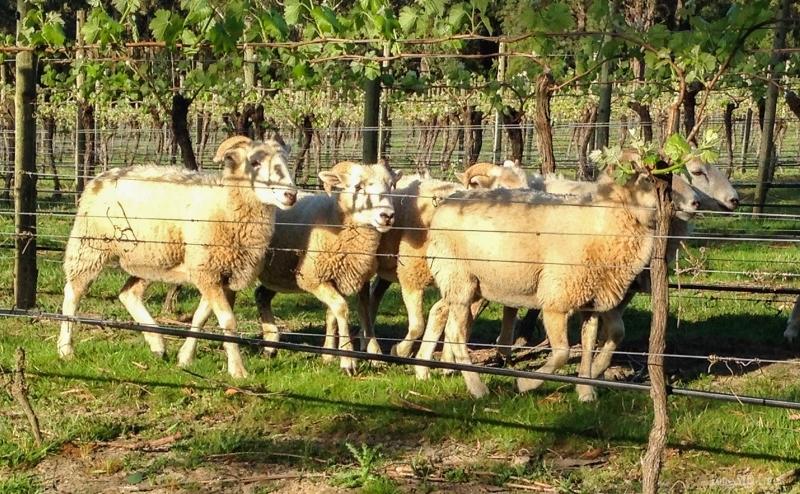 Sheep-22-800x494