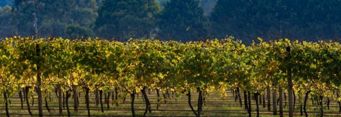 Vines, vineyard, wine, winery, view, pretty, trees, outer Melbourne, accommodation near Healesville, cottage near Healesville, house in Yarra Valley