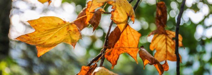 autumn vine leaves, Upper Yarra, fall, Melbourne