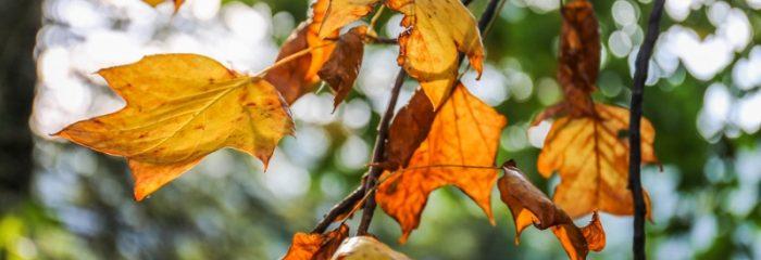 Cottage, trees, comfortable, cute, accommodation near Healesville, near Woori Yallock, autumn leaves