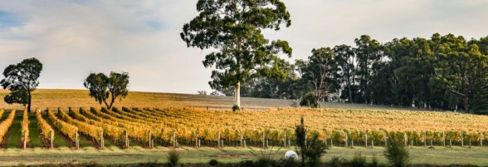 Vines, vineyard, wine, winery, view, manna gum, pretty, trees