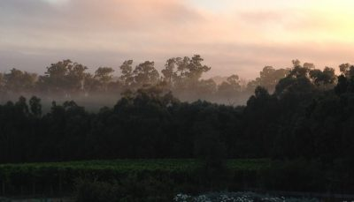Beautiful sunrise, mist, romantic, Vines, vineyard, wine, winery, view, manna gum, pretty, trees, view