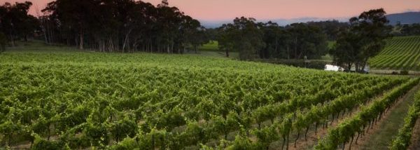 Sunset, vineyard, Yarra Valley winery