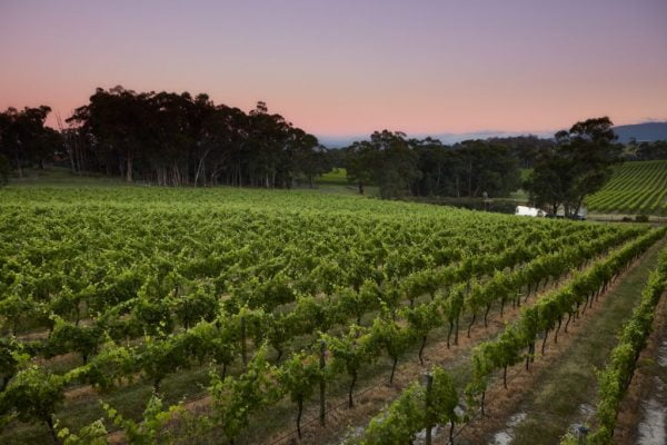 Sunset, vineyard, Yarra Valley winery