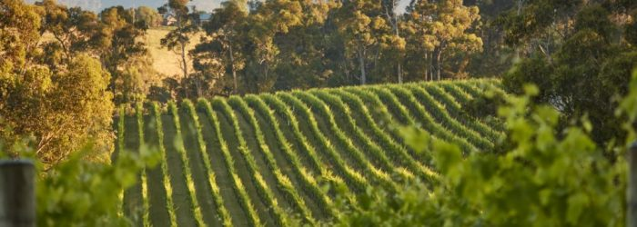 Rows of vines, view, Yarra Valley, mist, morning