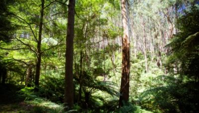 Yarra Valley forest
