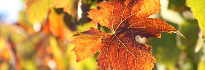 Autumn leaves, Yarra Valley