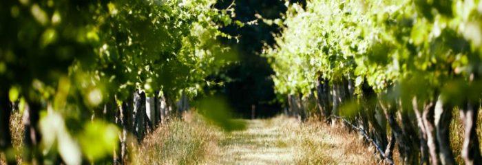 Lone Star Creek Vineyard, vines, Yarra Valley, Accommodation