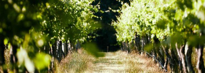 vine rows, wine grapes, Yarra Valley, Lone Star Creek