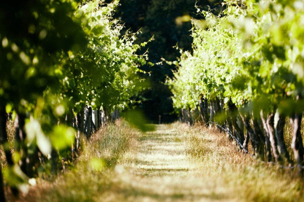 vine rows, wine grapes, Yarra Valley, Lone Star Creek