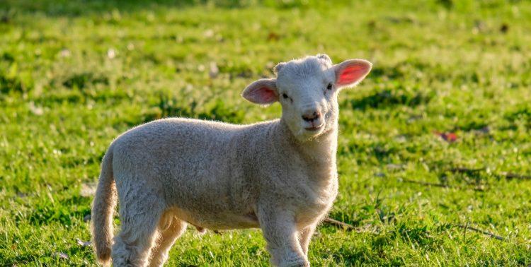 Lamb at Lone Star Creek Wines