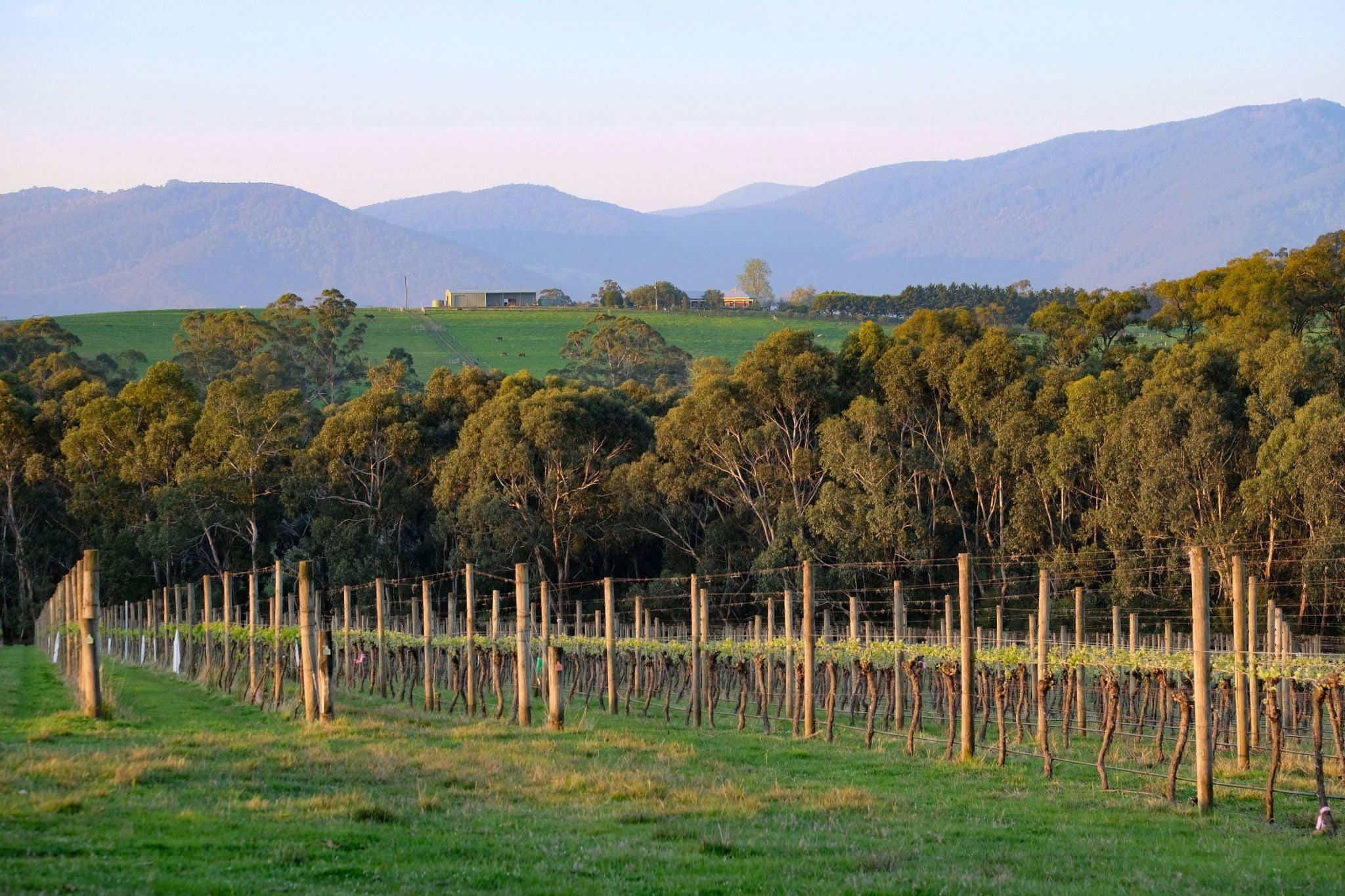 Vineyard rows