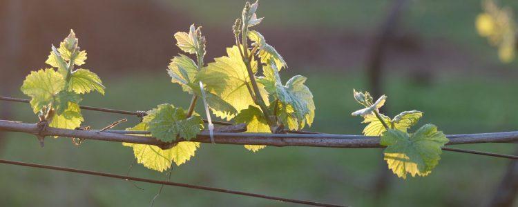 Lone Star Creek Vineyard, vine leaves, vineyard, wine, white wine, Yarra Valley