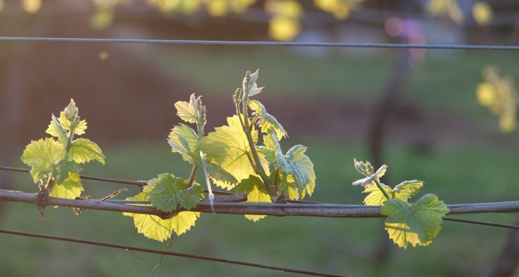Lone Star Creek Vineyard, vine leaves, vineyard, wine, white wine, Yarra Valley