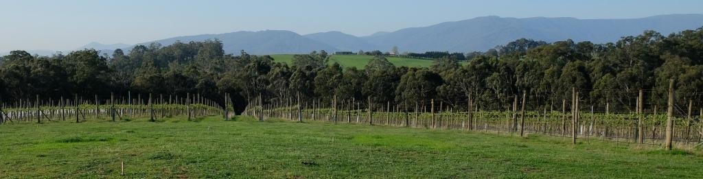 Lone Star Creek vineyard, vines